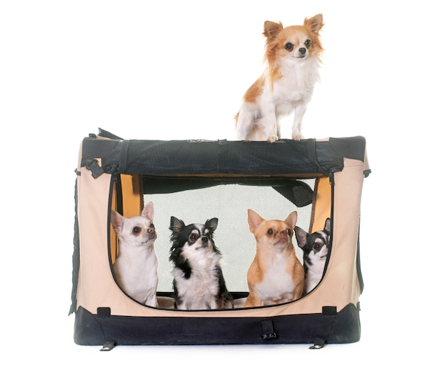 Chihuahuas in transportkennel