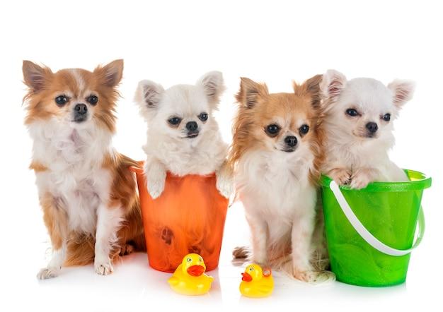 Chihuahuas in vakantie