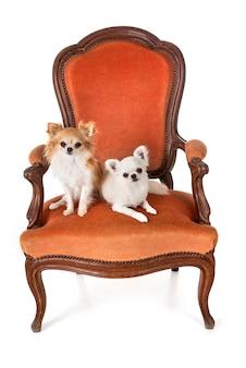 Chihuahuas op leunstoel
