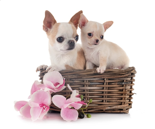 Chihuahuas op wit