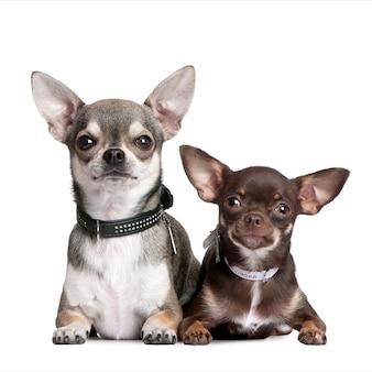 Chihuahuas portret geïsoleerd