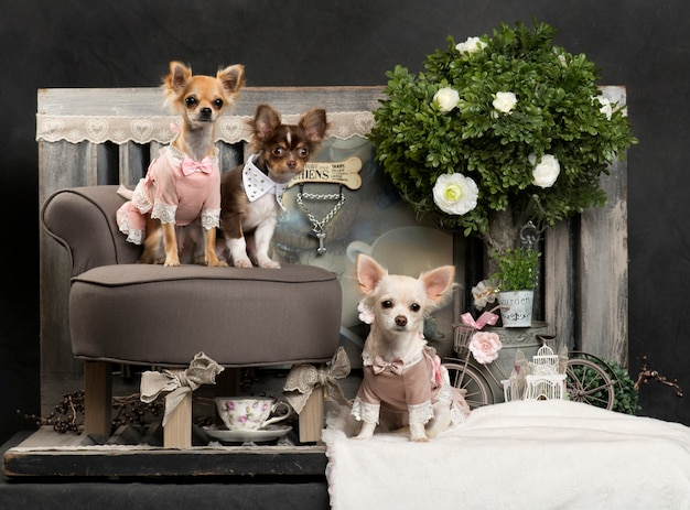 Chihuahuas poseren in de woonkamer
