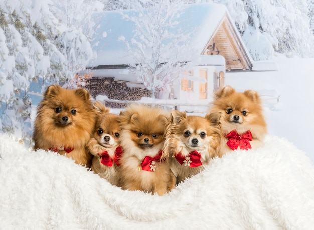 Chihuahuas, spitz en pomeranians die in de winterscène zitten die vlinderdasjes, portret dragen