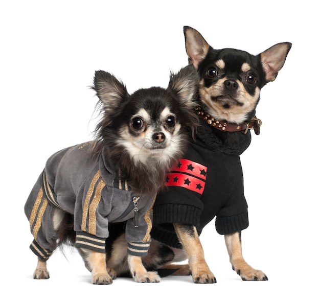 Chihuahuas, staande tegen een witte achtergrond