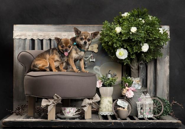 Chihuahuas voor een rustieke muur