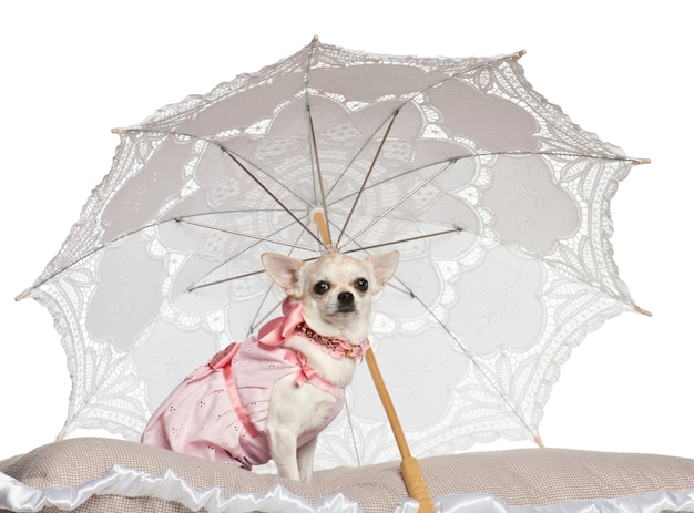 Chihuahuazitting onder parasol tegen witte achtergrond