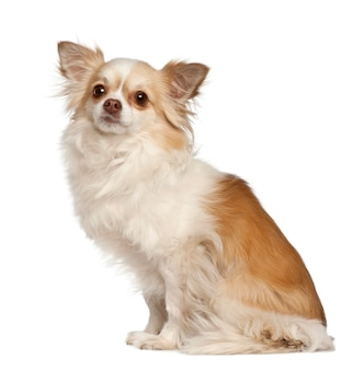 Chihuahuazitting tegen witte achtergrond