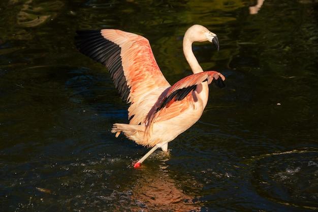Chileense flamingo, phoenicopterus chilensis, een chileense flamingo staande in de vroege ochtendzon met een natuurlijke achtergrond