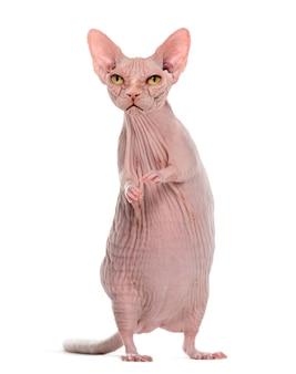 Chimera met boze haarloze sfinxkat en rattenlichaam