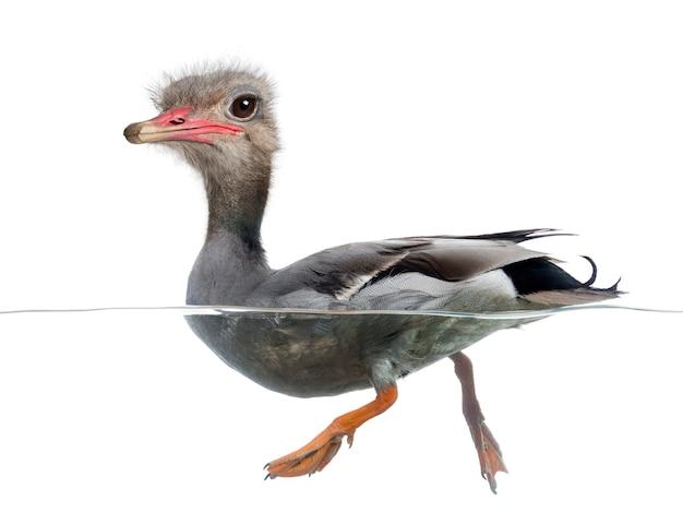 Chimera met wilde eend drijvend op het water een gezicht van een struisvogel tegen witte achtergrond