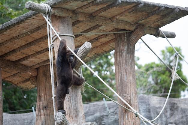 Chimp chimpansee aap aap