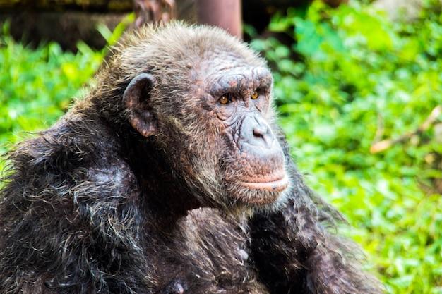 Chimpansee aap in dierentuin