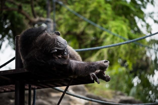 Chimpansee aap liegen en slapen in de buurt van klimmen touw in de dierentuin