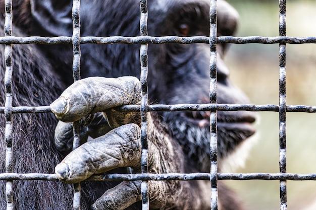 Chimpansee in gevangenschap in de dierentuinkooi