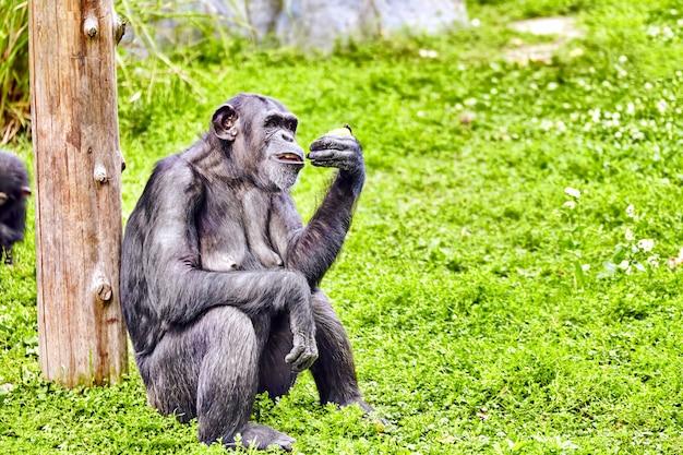 Chimpansee in zijn natuurlijke habitat in het wild.