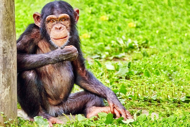 Chimpansee in zijn natuurlijke habitat in het wild. Premium Foto