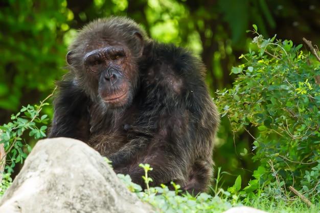 Chimpansee zat in het wild te staren.