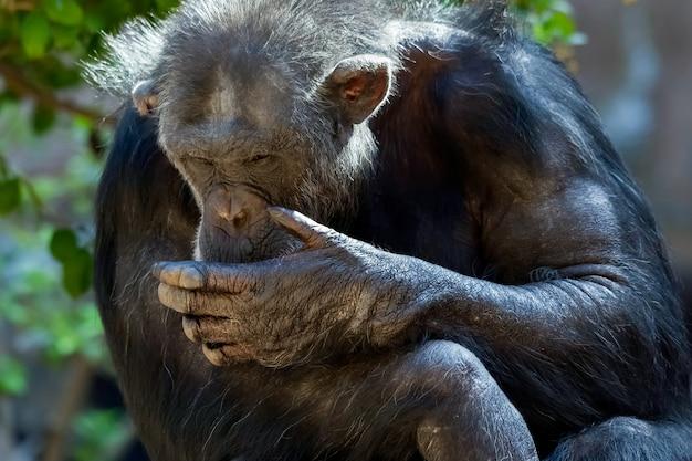 Chimpansee zittend in een dierentuin