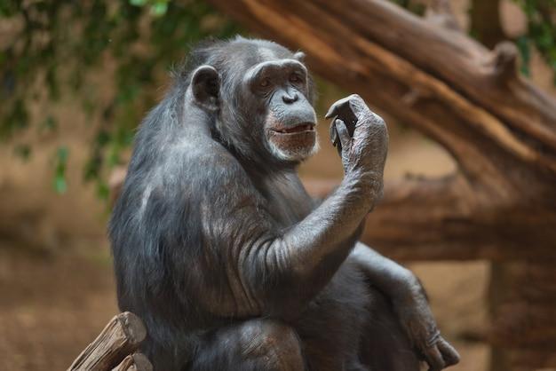 Chimpanseeportret in natuurlijke habitat