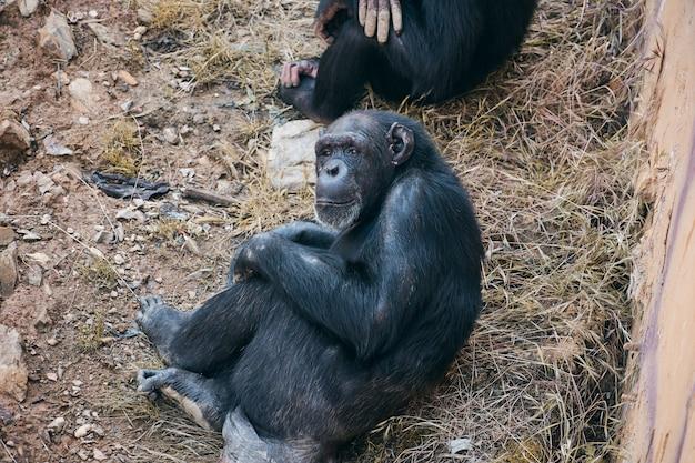 Chimpanseezitting die nadenkend kijkt