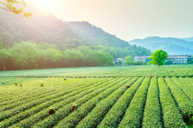 China velden hoed lente blad Premium Foto