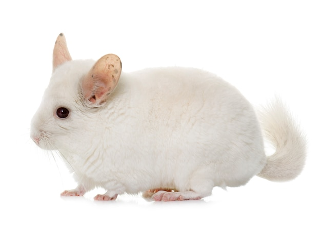Chinchilla geïsoleerd