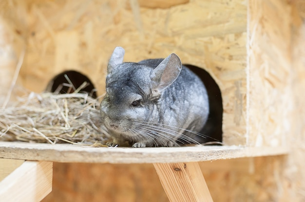 Chinchilla in contact dierentuin. huisdieren.