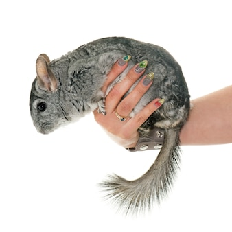 Chinchilla in de hand