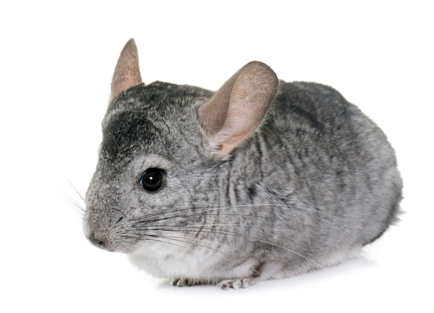Chinchilla in de studio