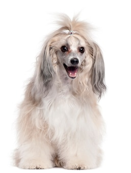 Chinese crested dog, 3 jaar oud,