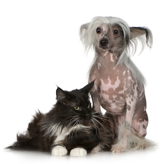Chinese crested dog - haarloze en maine wasbeer