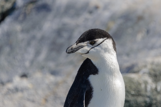 Chinstrappinguïn op het strand in antarctica dichte omhooggaand
