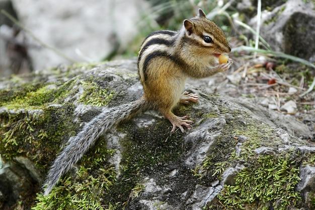Chipmunk eten in natuurlijke habitat