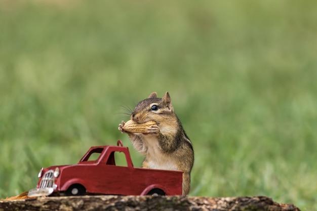 Chipmunk propt cheques met pinda's uit de rode vrachtwagen voor het herfstseizoen