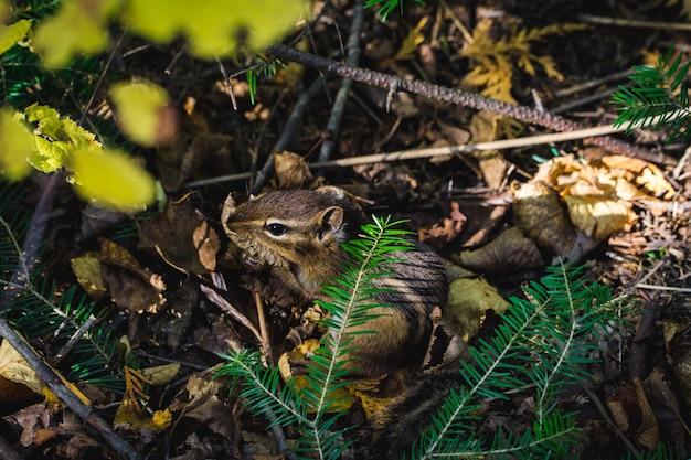 Chipmunk verbergen van het pad onder een evergreen