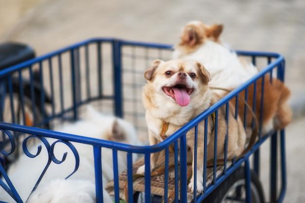 Chiwawa-hond op motor zijspan