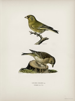 Chloris chloris geïllustreerd door de gebroeders von wright.