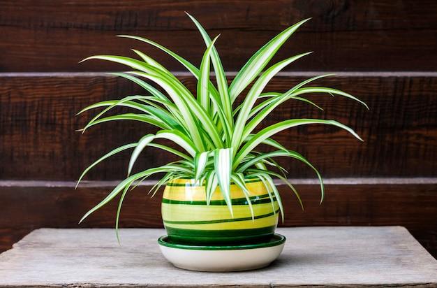 Chlorophytum comosum (ook bekend als spinplant) in een pot