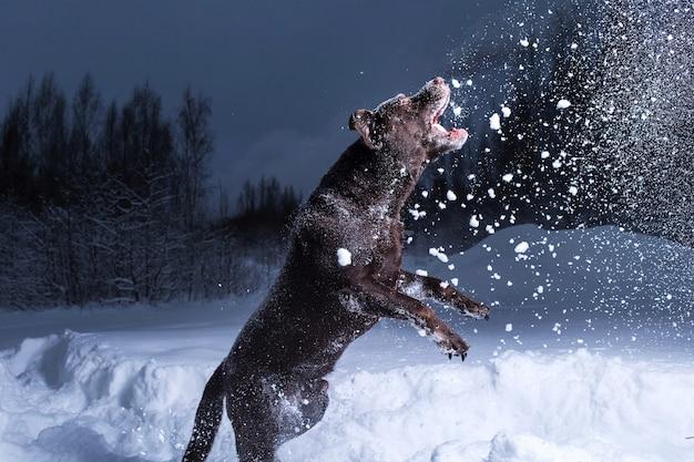 Chocolade labrador retriever hond springen in de sneeuw