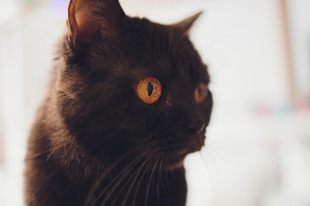 Chocolade schotse kat met gele ogen bij het raam.
