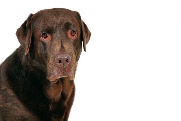 Chocoladebruin labrador retriever-portret dat op witte achtergrond wordt geïsoleerd.