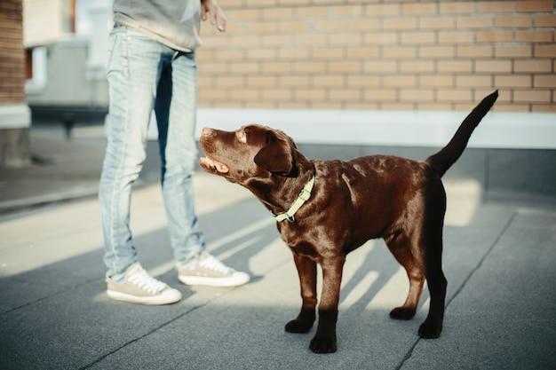 Chocoladebruine labrador retriever in de stad