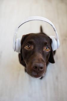 Chocoladekleurige labrador retriever-hond met een witte grote koptelefoon die naar muziek luistert, bovenaanzicht, moderne technologie om te luisteren en van muziek te genieten
