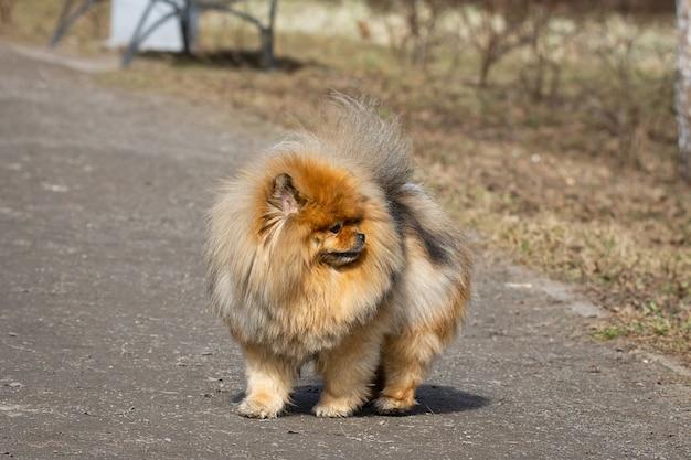 Chow chow hond