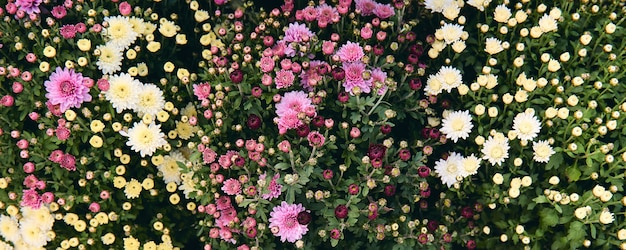 Chrysant bloem met bladeren patroon kleurrijke bloemen achtergrond als kaart. close-up witte chrysanthemum planten bloeien in de bloemenboerderij. herfst decoraties.