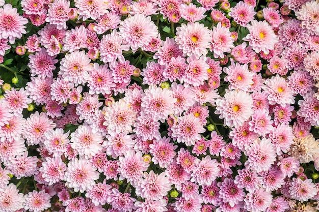 Chrysant bloemen achtergrond