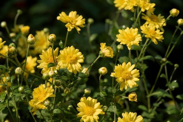 Chrysant bloemen bloeien