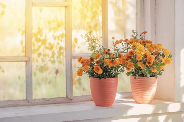 Chrysanten in potten op oude witte vensterbank