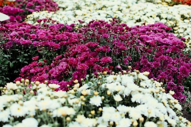 Chrysantenachtergrond, ingemaakte bloeminstallatie in markt