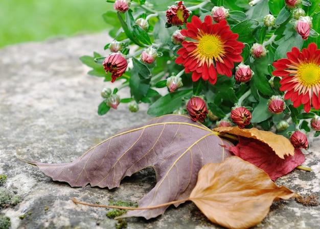 Chrysantenbloemen en bladeren